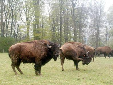 locations de vacances r ves de bisons muchedent et ses environs. Black Bedroom Furniture Sets. Home Design Ideas